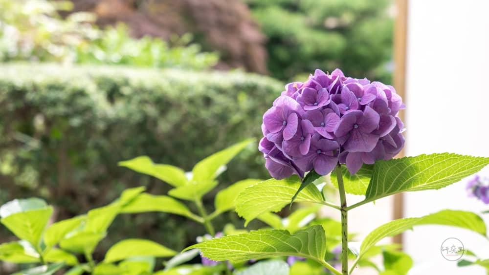 要前往足湯的路上 有個戶外長廊 兩旁有庭園造景和盛開的花(有馬溫泉・兵衛向陽閣|研究生)2